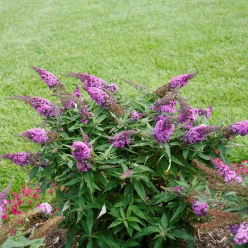 Pugster Periwinkle Butterfly Bush overview