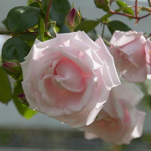 Climbing Rose New Dawn 3ltr Pot