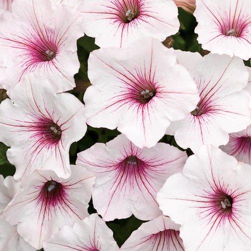 Supertunia Vista Silverberry - Petunia hybrid