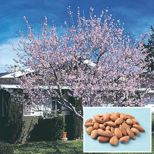 Hall's Hardy Almond Tree