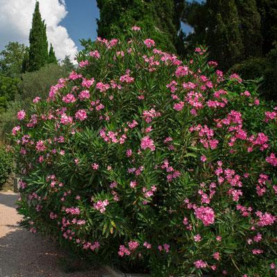 Pink Oleander Shrub