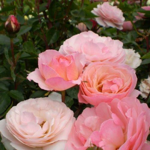 Easy Elegance® Calypso Rose blooming close up