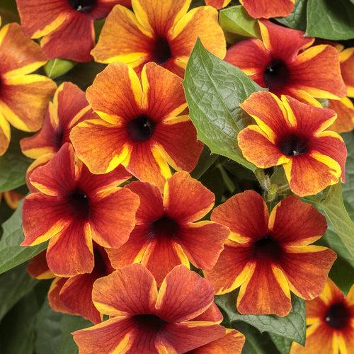 Tangerine Slice A-Peel - Black-Eyed Susan Vine - Thunbergia alata