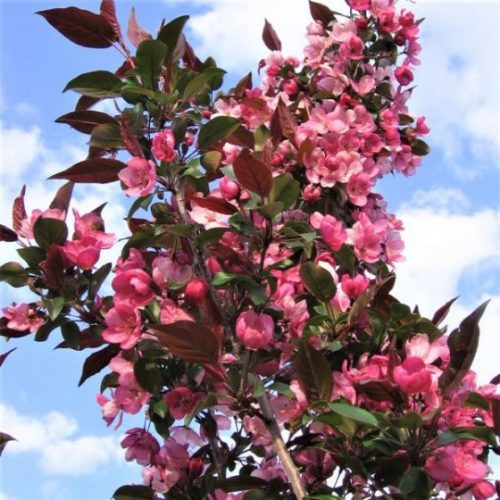 Gladiator Crabapple Tree Blooms
