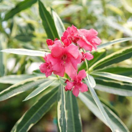 Twist of Pink Oleander Tree Form Overview