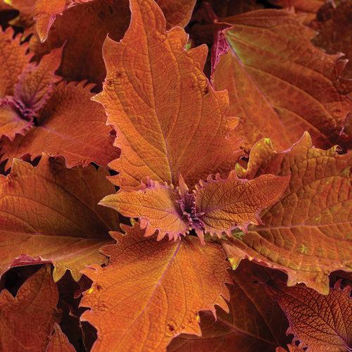 ColorBlaze Wicked Hot - Coleus - Solenostemon scutellarioides