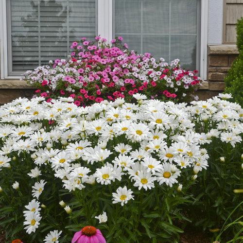 Amazing Daisies Daisy May - Shasta Daisy - Leucanthemum superbum