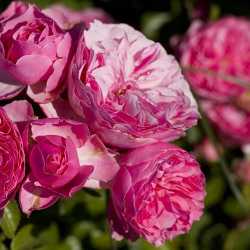 Meilland Floribunda rose Leonardo da Vinci