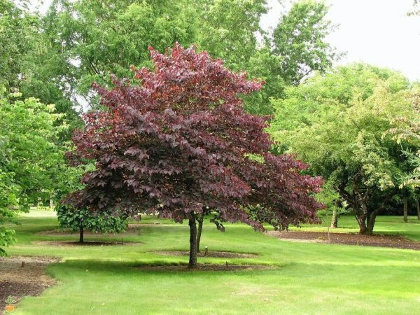 Newport Plum Tree
