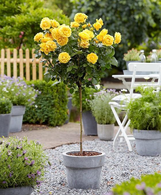 Yellow Sunblazeu00ae Miniature Rose Tree