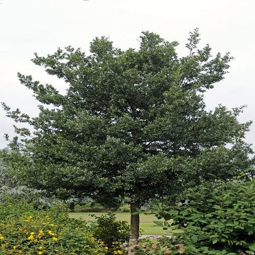 Quercus Ilex Holm Oak