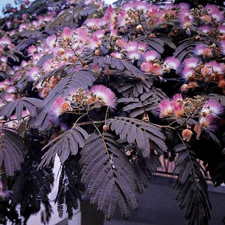 Chocolate Mimosa Tree
