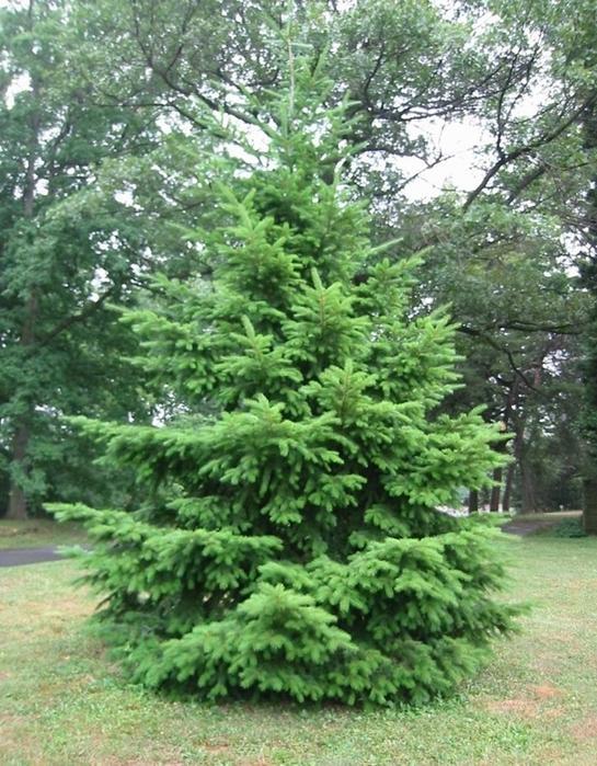 Dougals Blue Fir Tree