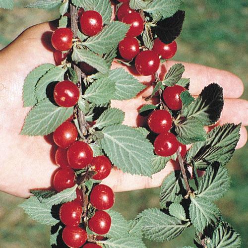 Nanking Bush Cherry Tree