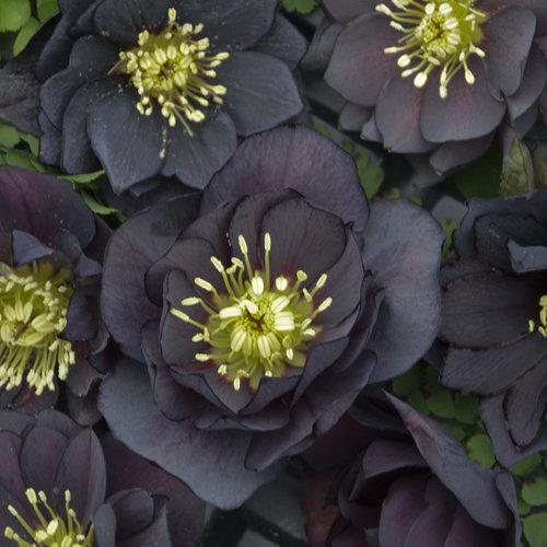 Wedding Party Dark and Handsome - Lenten Rose - Helleborus hybrid