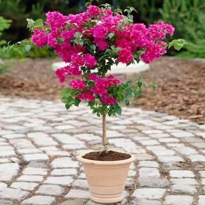 Pink Bougainvillea Tree