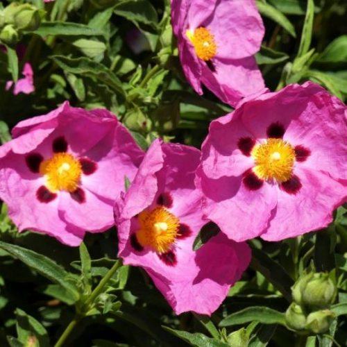 Purple Flowered Rock Rose Blooms