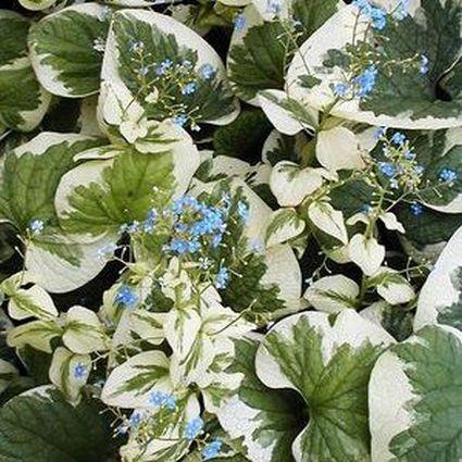 Brunnera Variegata blooms