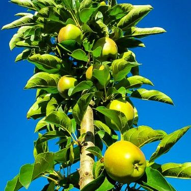Blushing Delight Urban Apple Tree