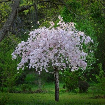 White Weeping Cherry Tree