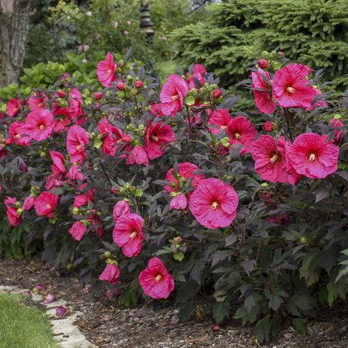 Summerific 'Evening Rose' - Rose Mallow - Hibiscus hybrid