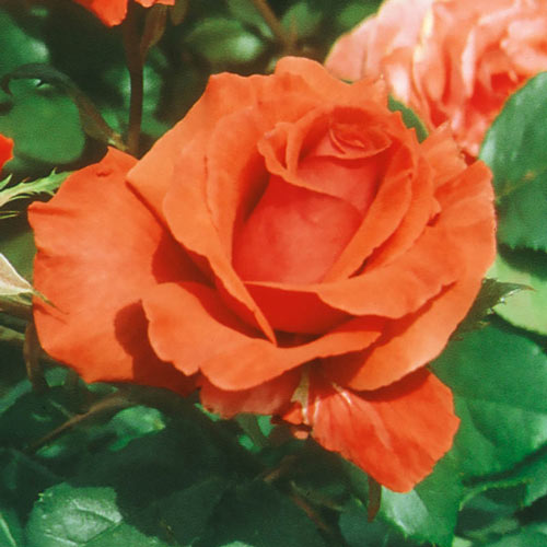 Fragrant Cloud Hybrid Tea Rose Plant